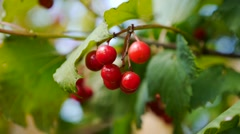 Closeup of bunches of red berries of a Guelder rose or Viburnum opulus shrub on Stock Footage