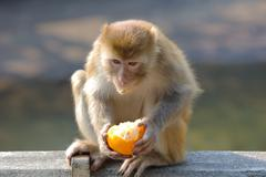 monkey in Kam Shan Country Park, hk - stock photo