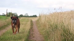 Boxer dog walking on a meadow Stock Footage