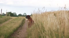 Boxer dog on a meadow Stock Footage