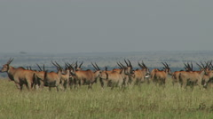 Group of elands in the plains Stock Footage