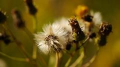 Close up macro of dandelion seeds ready to take flight. - stock footage
