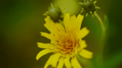 Top view of yellow dandelion flower Stock Footage