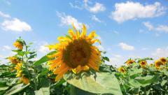 Crane up field of sunflower - crane up Stock Footage