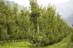 Orchard with Young Apples Trees - stock photo