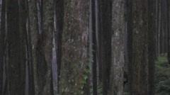 Zoom out - giant trees Stock Footage