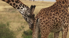 Giraffe nudging a female for mating Stock Footage