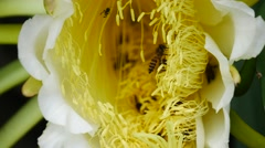 Bees pollinate a blooming dragon fruit flower Stock Footage