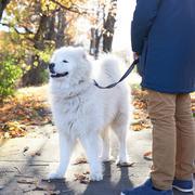 Walking Arctic Spitz Samoyed dog outdoors Stock Photos