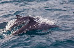 Pod of striped dolphins Azores Stock Photos