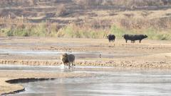 Male lion crossing a river Stock Footage