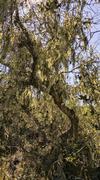 Mossy Oak - stock photo