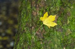 Fall yellow leaf Stock Photos