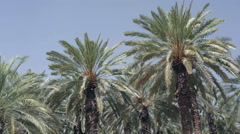 Date palm trees in hot sunny desert Stock Footage