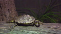 Turtle relaxing on wooden log looking around 4k Stock Footage