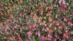 Flowers pan shot - Queens Park Toowoomba Stock Footage