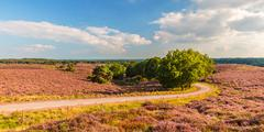 Panoramic image of blooming heathland at the Veluwe Stock Photos