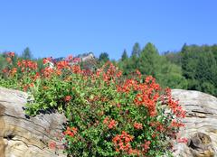 Red Geraniums on the big mountain tree trunk - stock photo