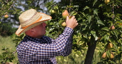 Farmer Look Checking Pear Tree Picking Fruits Fall Harvest Season Orchard Garden Stock Footage