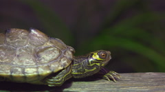 Close up of box turtles face while it is relaxing on log 4k Stock Footage