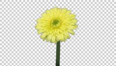 Time-lapse of opening yellow gerbera flower with ALPHA Stock Footage