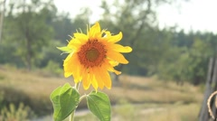 Sunflower wind close-up Stock Footage