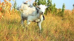 Goatling in the meadow - stock footage