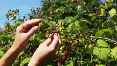 Woman's hands picking raspberry Stock Footage