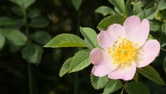 Beautiful flower Rosa rubiginosa wild rose  outdoor in the forest 4K 2160p 30 Stock Footage