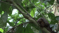 Tree Pangolin climb tree in the rainforests of Central African Republic 10 Stock Footage