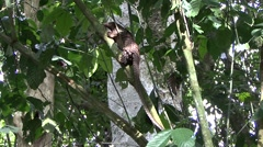 Tree Pangolin climb tree in the rainforests of Central African Republic 12 Stock Footage