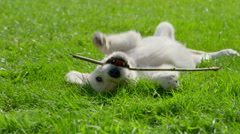 Cute Puppy is Playing in the Garden Stock Footage