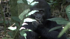 Western Lowland Gorilla baby feeding in the rainforests of Central African Re Stock Footage
