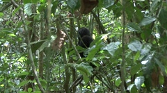 Western Lowland Gorilla climb down on the ground in the rainforests of Centra Stock Footage