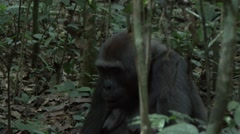 Western Lowland Gorilla feeding in the Central African rainforests 3 Stock Footage