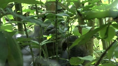 Western Lowland Gorilla feeding in the Central African rainforests 4 - stock footage