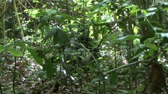 Western Lowland Gorilla feeding in the Central African rainforests 5 - stock footage