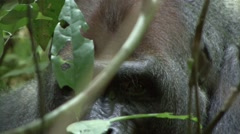 Western Lowland Gorilla Silverback eyes in the Central African rainforests Stock Footage