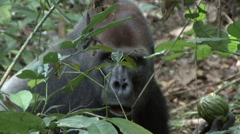 Western Lowland Gorilla Silverback licking finger in the Central African rain Stock Footage