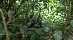 Western Lowland Gorilla Silverback resting on his stomach in the Central Afri Stock Footage