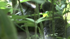 Western Lowland Gorilla Silverback scratching head in the Central African rai Stock Footage