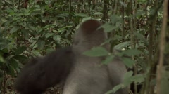 Western Lowland Gorilla Silverback walk on the forest floor in the Central Af Stock Footage