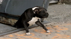 Black American Pit Bull Terrier Red Nose Pit Bull emerging from basement cellar Stock Footage