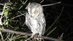 African barred owlet perched on a branch at night Stock Footage
