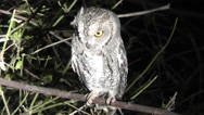 Stock Video Footage of African barred owlet perched on a branch at night