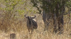 Blue Wildebeest looking into camera – with heat haze - stock footage