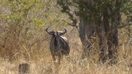 Stock Video Footage of Blue Wildebeest looking into camera – with heat haze