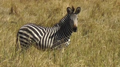 Zebra standing in high grass looking into the camera – with heat haze Stock Footage