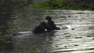 Stock Video Footage of Two hippos fighting