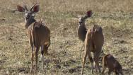 Stock Video Footage of Male and female Kudu turning their heads and looking into the camera
